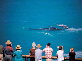 Whale Watching At Head Of Bight - Attractions Brisbane