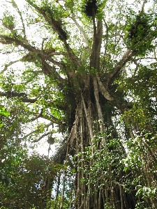 Cathedral Fig Tree - Attractions Brisbane
