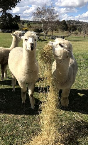 Clearview Alpacas - Attractions Brisbane