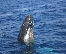 Jervis Bay Whales - Attractions Brisbane