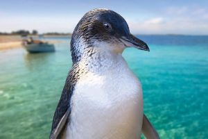 Full-Day Penguin Island  Fremantle Town - Attractions Brisbane