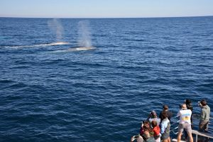 Blue Whale Perth Canyon Expedition - Attractions Brisbane