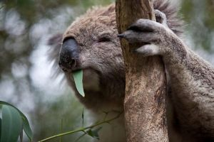 Phillip Island Koala Conservation Centre Entry ticket - Attractions Brisbane