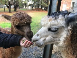 Alpaca Farm Experience at Crookwell - Attractions Brisbane