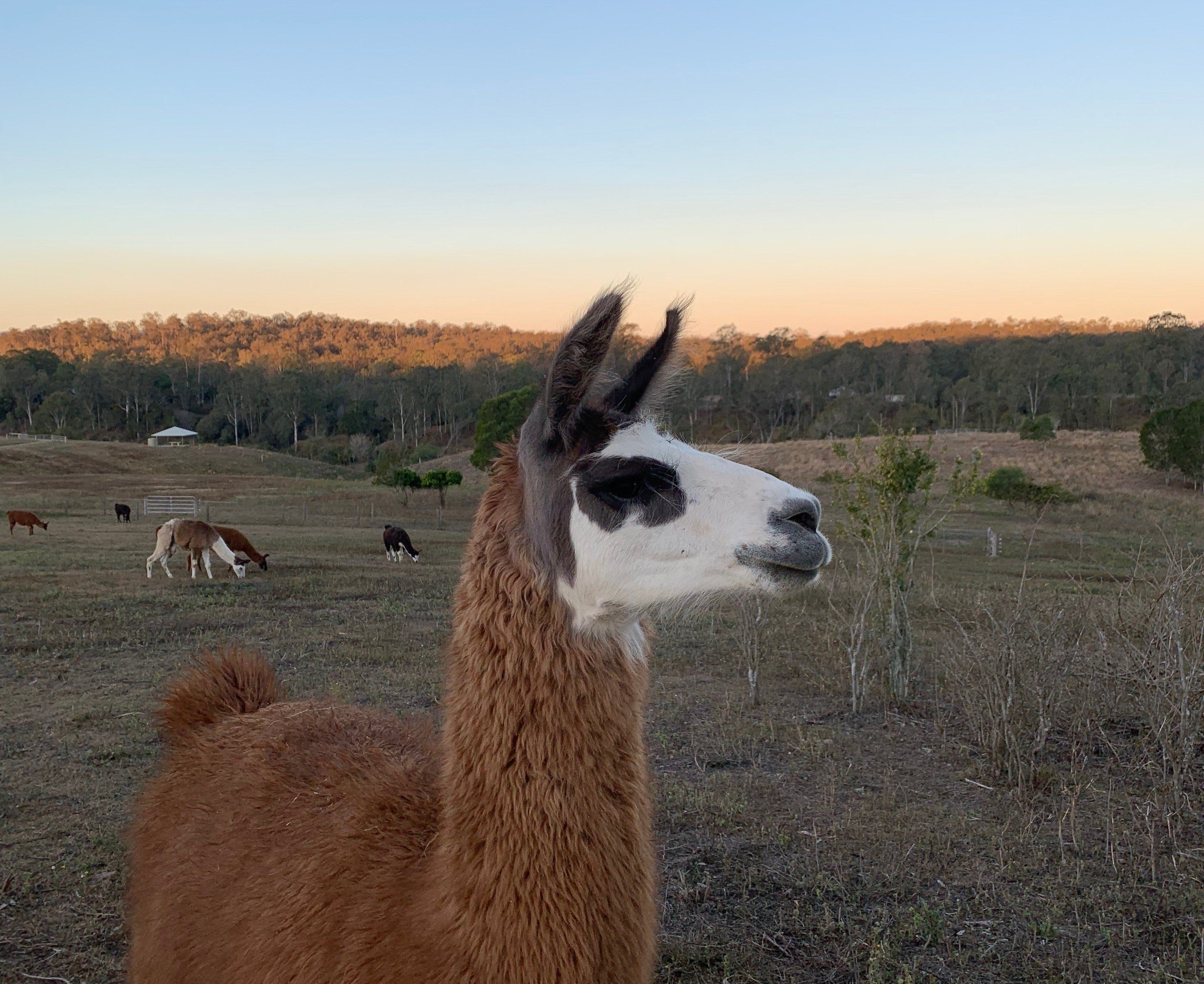The Llama Farm - Attractions Brisbane